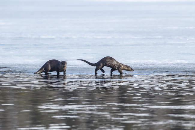 Um par de River Otters perto do lago no centro-sul do Alasca; Alasca, Estados Unidos da América — Fotografia de Stock