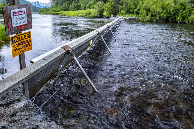 Fischwehr am russischen Fluss mit Lachs im Vordergrund, Kenai-Halbinsel, Süd-Zentralalaska; alaska, Vereinigte Staaten von Amerika — Stockfoto