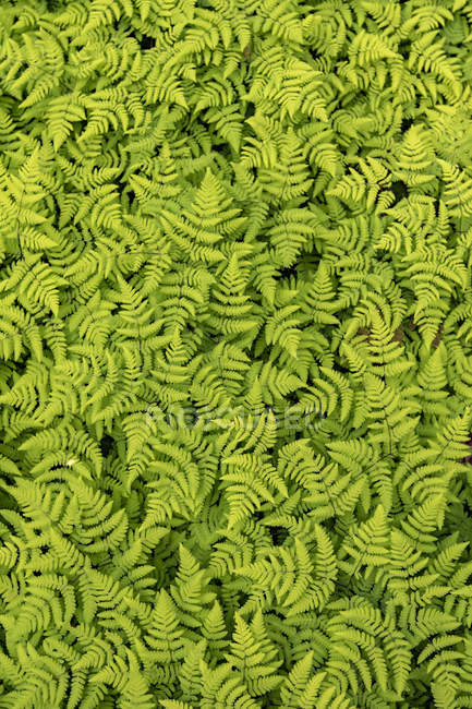 A large patch of ferns at the Russian River Falls Trail on the Kenai Peninsula, near the parking area for hikers, South-central Alaska; Alaska, United States of America — Stock Photo