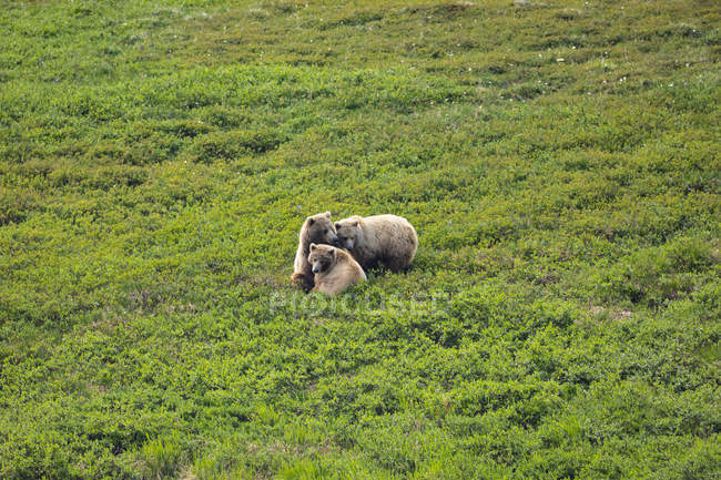 Grizzly sow (Ursus arctos horribilis) nuzzles with her two cubs right after nursing there on the tundra, Interior Alaska, Denali National Park and Preserve; Alaska, United States of America — Stock Photo