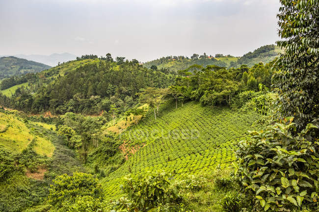 Scenic view of Tea plantations; Kachulagenyi, Western Region, Uganda — Stock Photo