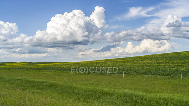Lush green fields of farmland under a blue sky with clouds on the Alberta prairies, Rocky View County; Alberta, Canada — Stock Photo