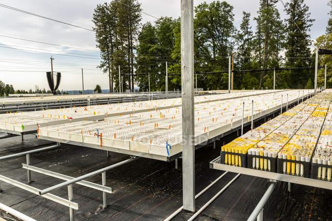 Vivero de plántulas de árboles cultivadas al aire libre, Servicio Forestal USDA Vivero Placerville en California. - foto de stock