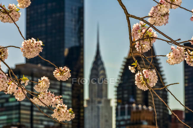 Cherry blossoms and the Chrysler Building; New York City, New York, United States of America — Stock Photo