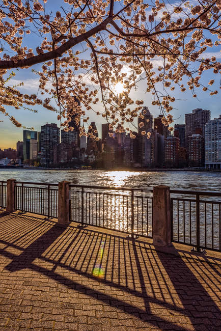 Sun setting behind cherry blossoms (Kwanzan Prunus serrulata) with a view of the Manhattan skyline, viewed from Roosevelt Island; New York, United States of America — Stock Photo