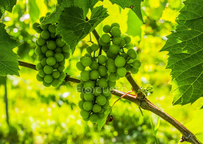 Cluster of green grapes on a grapevine vineyard — Stock Photo