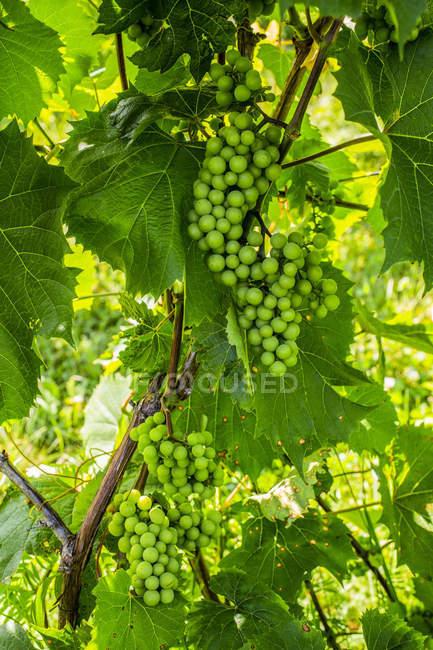 Cantidad de uvas verdes en una viña de vid - foto de stock