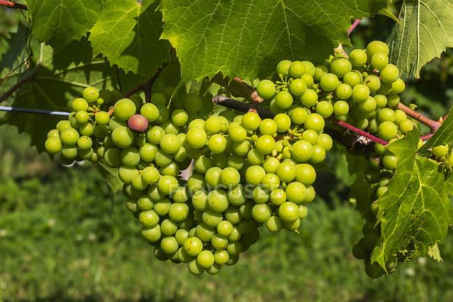 Trauben grüner Trauben auf einem Weinberg — Stockfoto
