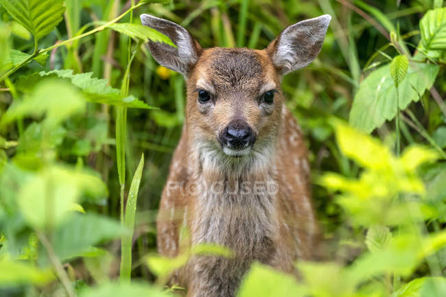 Sitka deer fawn (Odocoileus hemionus sitkensis) peering out from the green foliage, Tongass National Forest; Alaska, United States of America — Stock Photo