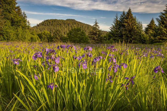 Wild irises in bloom in Tongass National Forest at dusk; Alaska, United States of America — Stock Photo