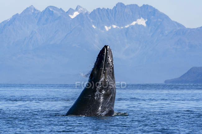 Scenic view of humpback whale swimming in water — Stock Photo