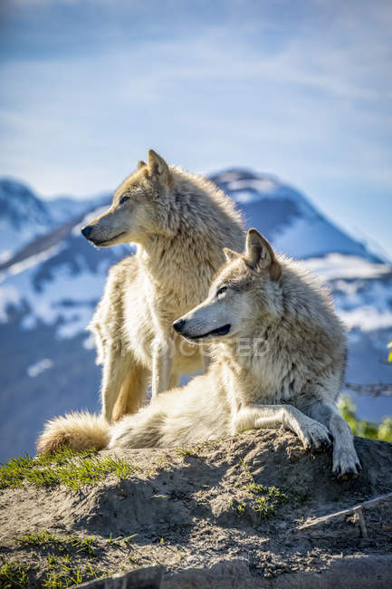 Two female Gray wolves (Canis lupus) looking out with a mountains in the background, Alaska Wildlife Conservation Center; Portage, Alaska, United States of America — Stock Photo