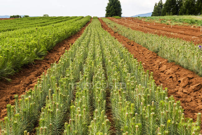 Rows of thousands of one year old pine seedlings on the USDA Forest Service Placerville Nursery; Placerville, California, United States of America - foto de stock