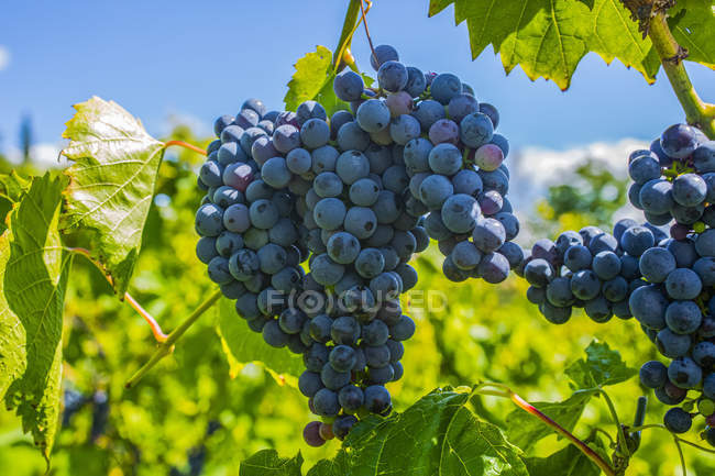 Cluster of purple grapes on a grapevine; Shefford, Quebec, Canada — стокове фото