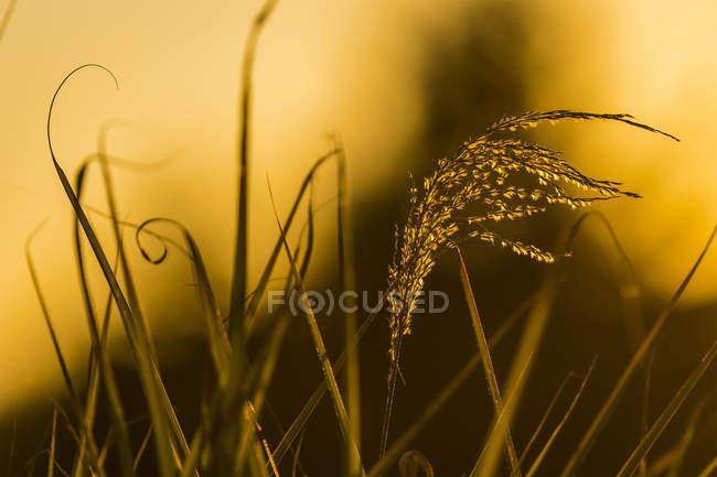 Herbe ornementale attrapant la lumière du soleil couchant ; Astoria, Oregon, États-Unis d'Amérique — Photo de stock