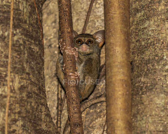 Tarsier spectral (spectre Tarsius), réserve naturelle de Tangkoko Batuangus ; Sulawesi Nord, Indonésie — Photo de stock