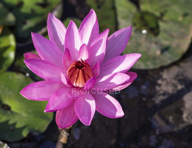 Vista de close-up de lírio de água rosa em flor — Fotografia de Stock