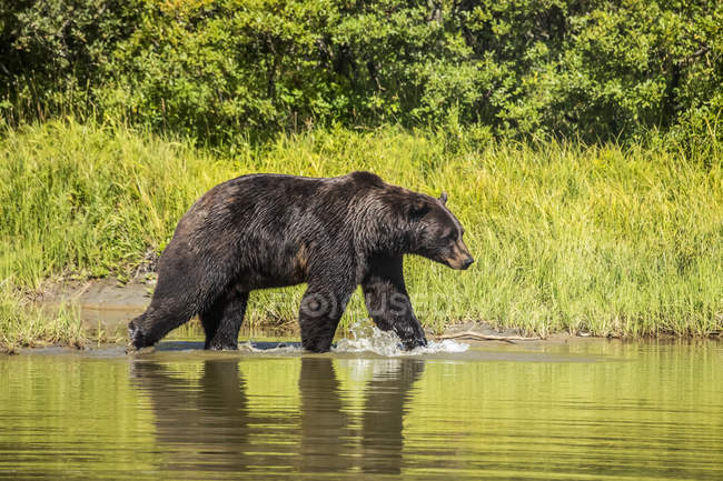 Scenic view of majestic bear at wild nature in lake — Stock Photo