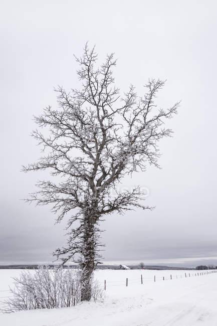 Зимний пейзаж с покрытым льдом деревом, снежным полем и забором; Sault St. Marie, Michigan, United States of America — стоковое фото