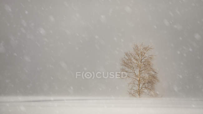 Snowfall with large snowflakes over a field with a lone tree; Sault St. Marie, Michigan, United States of America — Stock Photo