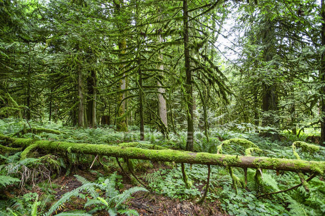 Lush forest with moss-covered fallen tree on the forest floor; British Columbia, Canada — Stock Photo
