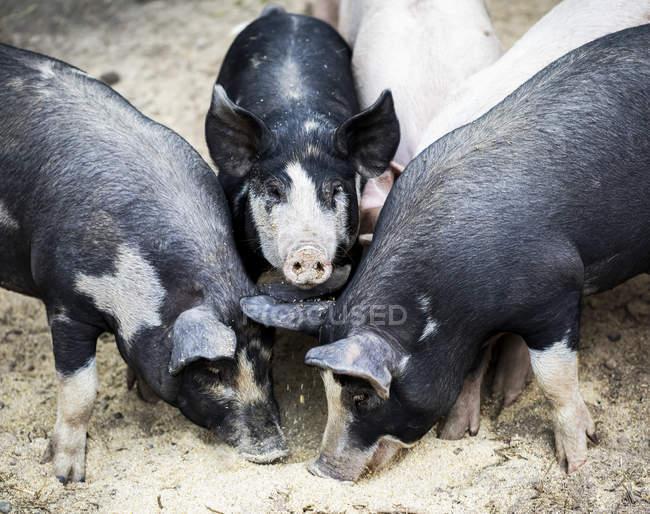 Schweine auf einer Farm, die sich am Boden ernährt; armstarkes, britisches Columbia, Kanada — Stockfoto