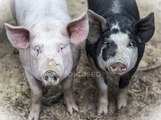 Zwei Schweine auf einer Farm, die in die Kamera blicken; Armstrong, British Columbia, Kanada — Stockfoto