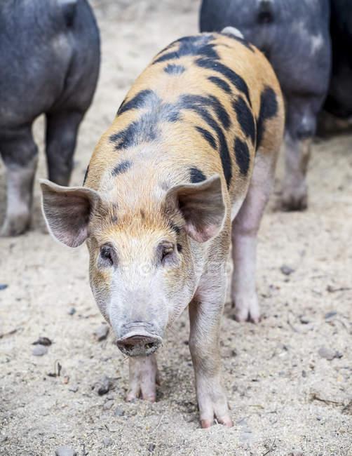 Schwein auf einem Bauernhof mit Blick in die Kamera; armstarkes, britisches Columbia, Kanada — Stockfoto