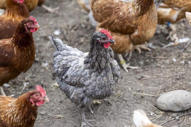 Hühner auf einem Bauernhof; armstarkes, britisches Columbia, Kanada — Stockfoto