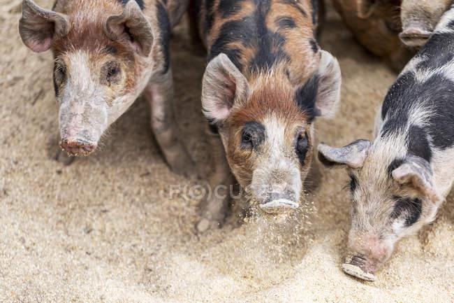 Cerdos en una granja alimentándose en el suelo; Armstrong, Columbia Británica, Canadá - foto de stock
