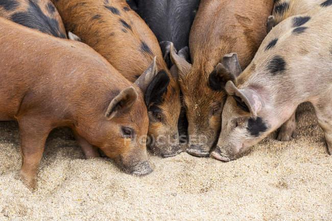 Свиньи на ферме кормятся на земле; Армстронг, Британская Колумбия, Канада — стоковое фото