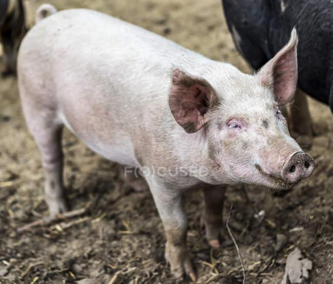 Rosafarbenes Schwein auf einem Bauernhof; armstarkes, britisches Columbia, Kanada — Stockfoto