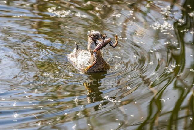 Pied-billed Grebe (Podilymbus podiceps) атакує Lowland Leopard Frog (Rana yavapaiensis) в Sweetwater Wetlands; Тусон, Аризона, США — стокове фото
