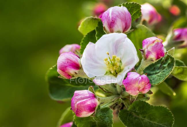 Close-up of apple blossoms on a tree; Calgary, Alberta, Canada — Stock Photo
