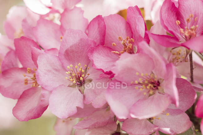 Close-up of pink apple blossoms; Alberta, Canada — Stock Photo