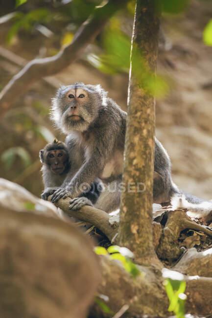 Singes à longue queue balinais (Macaca fascicularis), forêt de singes Ubud ; Bali, Indonésie — Photo de stock