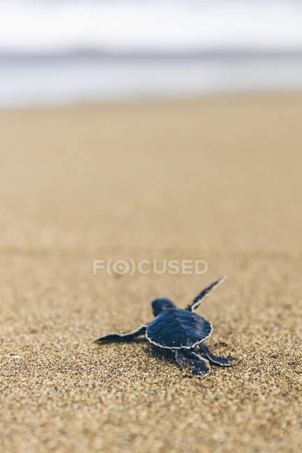 Черепаха в Пантай - Пандан - Сарі, що повзе по піску; Східна Ява, Ява, Індонезія — стокове фото