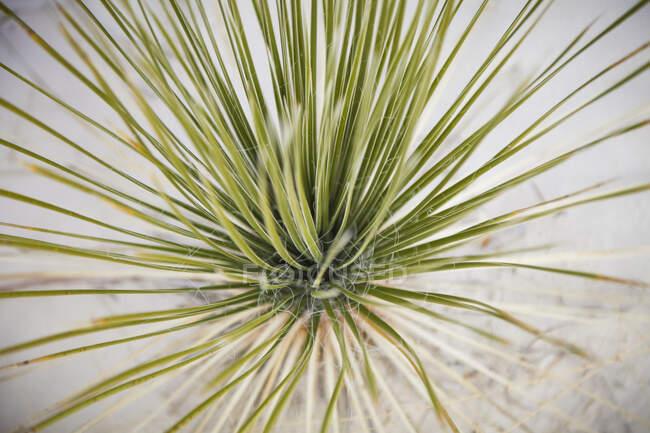 Вид сверху на Soaptree yucca (Yucca elata), Национальный памятник White Sands; Alfergordo, Нью-Мексико, Соединенные Штаты Америки — стоковое фото