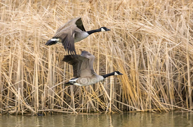 Two Canada geese (Branta canadensis) flying low over a pond beside reeds; Denver, Colorado, United States of America — Stock Photo