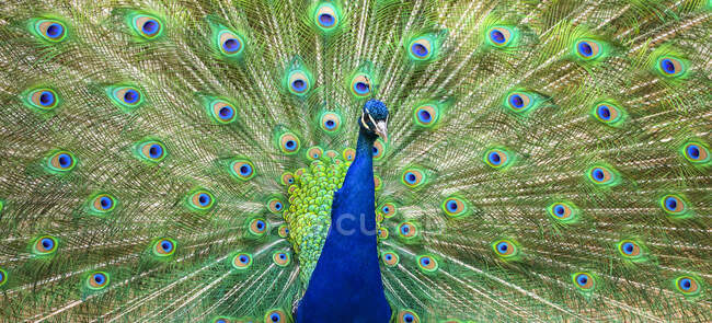 Indian peafowl (Pavo cristatus) proudly displaying the feathers of it's tail; Fort Collins, Colorado, United States of America - foto de stock