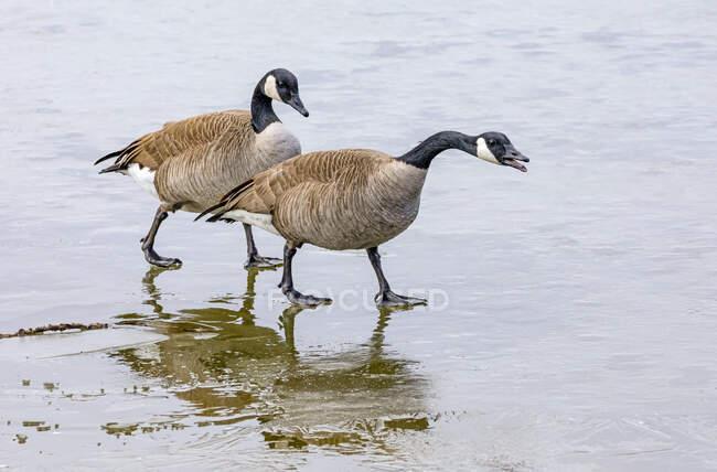 Канада гуси (Branta canadensis) ходять по мокрому березі; Денвер, Колорадо, США — стокове фото