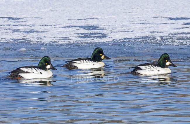 Троє самців, які плавають у воді біля замерзлого й снігового краю; Денвер (штат Колорадо, США). — стокове фото