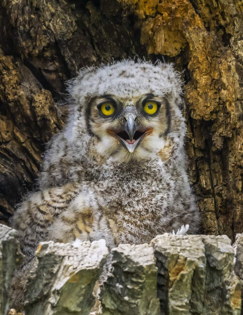 Great Horned Owlet (Bubo virginianus); Fort Collins, Colorado, United States of America — Stock Photo