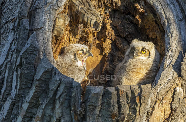 Great Horned Owl and Owlet (Bubo virginianus); Fort Collins, Colorado, United States of America — Stock Photo