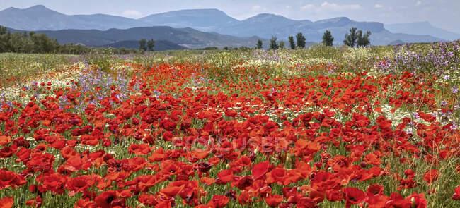 Красный мак и другие полевые цветы на лугу с горным хребтом вдалеке; Испания — стоковое фото