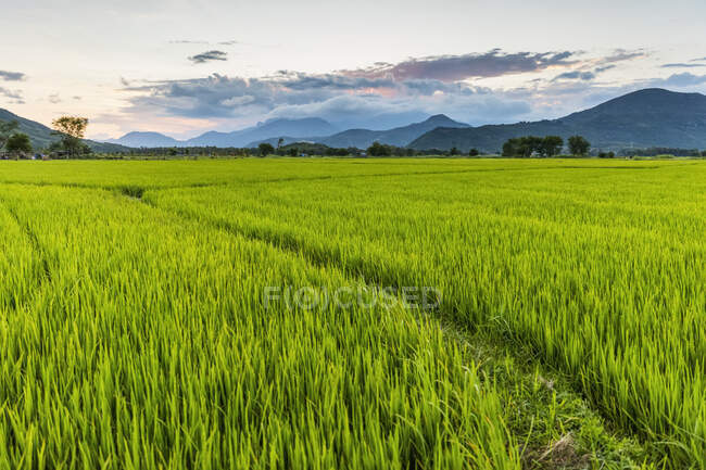 Sunset over a bright green, lush rice field; Ap Gio Ta, Ninh Thuan, Vietnam — Stock Photo