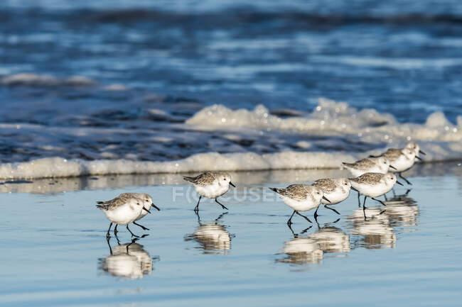 Сандерлінґс (Калідріс альба) біжить перед хвилями вздовж прибережних пляжів; Ілуако, Вашингтон, Сполучені Штати Америки — стокове фото