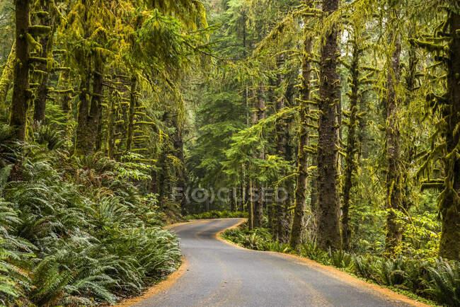 Парковая дорога ведет через лес в парке штата Экола; Кэннон-Бич, Орегон, США — стоковое фото