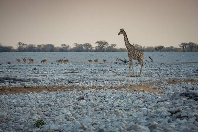 Girafe et troupeau d'antilopes, parc national d'Etosha ; Namibie — Photo de stock