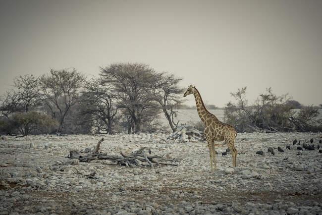 Girafe et pintade casquée (Numida meleagris), parc national d'Etosha ; Namibie — Photo de stock